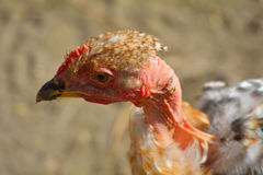 Brown and Gray Chicken Royalty Free Stock Photography