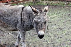 Brown-gray donkey Stock Image