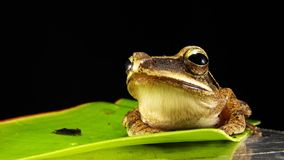 Brown and Gray Frog on Green Leaf Stock Photography