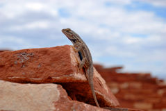 Brown Gray Gecko Royalty Free Stock Image