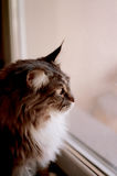Brown and Gray Haired Cat Looking Out the Glass Window Royalty Free Stock Photos