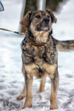 Brown with gray mongrel dog Stock Image