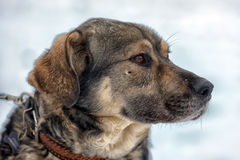 Brown with gray mongrel dog Royalty Free Stock Photography