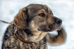 Brown with gray mongrel dog Stock Photo