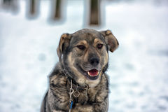 Brown with gray mongrel dog Royalty Free Stock Photo