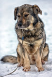 Brown with gray mongrel dog Royalty Free Stock Photos