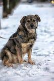 Brown with gray mongrel dog Stock Photos