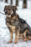 Brown with gray mongrel dog Royalty Free Stock Images