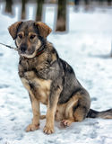 Brown with gray mongrel dog Stock Photography