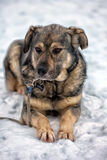 Brown with gray mongrel dog Stock Images