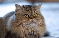 Brown and gray persian cat. A brown and gray persian cat looks attentive stock photos
