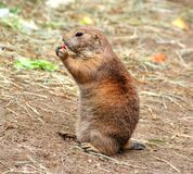 Brown and Gray Prairie Dog Royalty Free Stock Images
