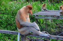 Brown Gray Primate Royalty Free Stock Images