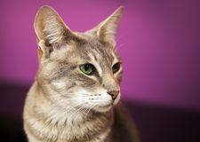 Brown gray short-haired cat with green eyes Stock Images