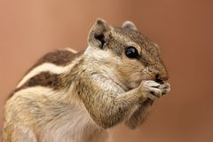 Brown and Gray Squirrel Stock Photo