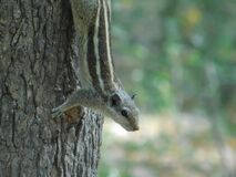 Brown and Gray Squirrel on Brown Tree Trunk Stock Image