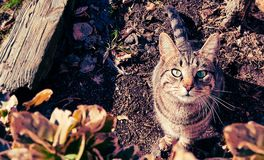 Brown and Gray Tabby Cat Royalty Free Stock Photos