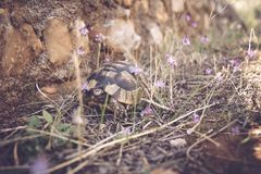 Brown and Gray Tortoise Walking on Grass Near Stone Stock Image