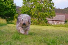 Brown Gray and White Hairy Medium Size Dog Walking on Green Grass Field during Daytime Royalty Free Stock Photos
