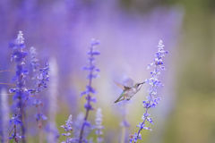 Brown Gray and White Humming Bird Getting Nectar from Lavender Flower Royalty Free Stock Images
