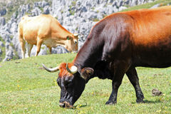 Brown grazing cows in a mountain Royalty Free Stock Images