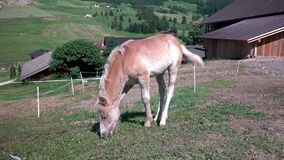 Brown grazing foal on horse farm at summer day day near fence, Dolomites, Italy