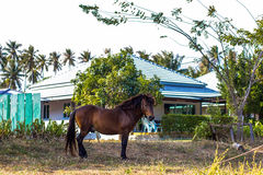 Brown grazing horse on the grass Stock Images