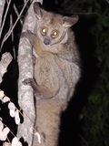 Brown greater galago Royalty Free Stock Images