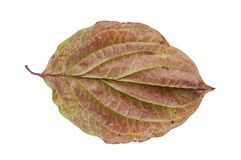 Brown and green autumn leaf isolated on white. Background natural dry Stock Image