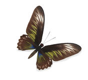 Brown and green butterfly isolated Royalty Free Stock Photo