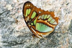 Brown and green Butterfly on rock Royalty Free Stock Image