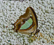 Brown and green butterfly standing on cat sand and sucking liqui Stock Photos