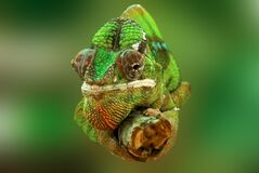 Brown and Green Cameleon Stock Photography