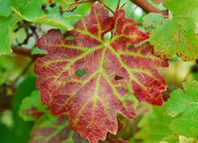 Brown green grape vine Plant Leaves. Brown green Leaves of grape vine plant Stock Image