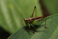 Brown green Grasshopper Royalty Free Stock Images