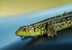 Brown and green lizard Stock Photos