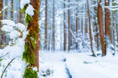 Brown and green mossy tree trunk in foreground with snow in a snowy forest with blue, cool tones and fluffy snow. Brown and green mossy tree trunk in foreground royalty free stock images