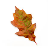 Brown and Green Oak Leaf Isolated on White Royalty Free Stock Photos