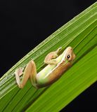 Brown Green and White Frog Stock Images