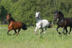 Brown, grey an black horses Royalty Free Stock Photo