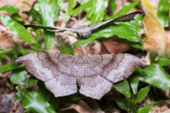 Brown and grey moth Royalty Free Stock Photography
