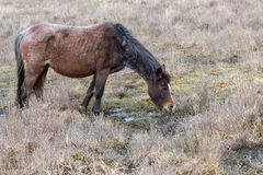 Brown grey old rove poor wild horse eats dry grass in reserve Pa Stock Photo