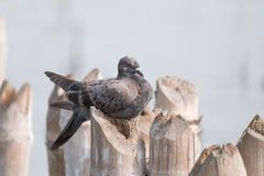 Brown Grey Pigeon Royalty Free Stock Images