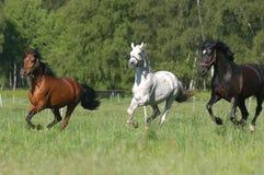 Brown, gris caballos negros Foto de archivo libre de regalías