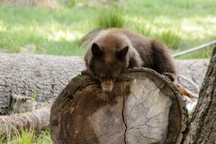 Brown grizly bear looks very relaxed, laying on the log and sleeping royalty free stock photos