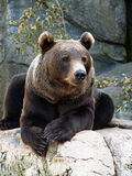 Brown grizzly bear stock image