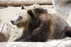 Brown Grizzly Bear. A Brown grizzly bear perched on the rocks and by a stump smiling Stock Images