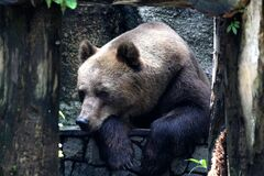 Brown Grizzly Bear on Black Metal Fence royalty free stock photos