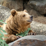 Brown grizzly bear Royalty Free Stock Images