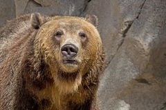 Brown Grizzly Bear Facing Forward Royalty Free Stock Photo